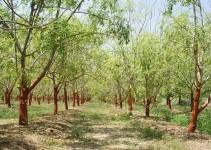 Potential Medical Applications Of Moringa Oleifera